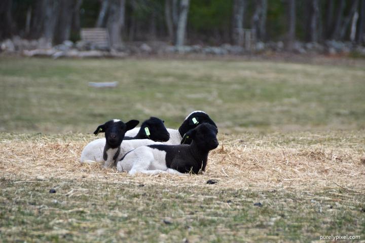 Spring Lambs at Clark Farm