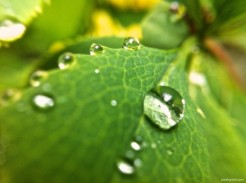 Drops on Leaf