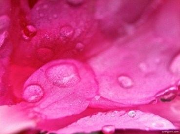 Drops on Pink Lily