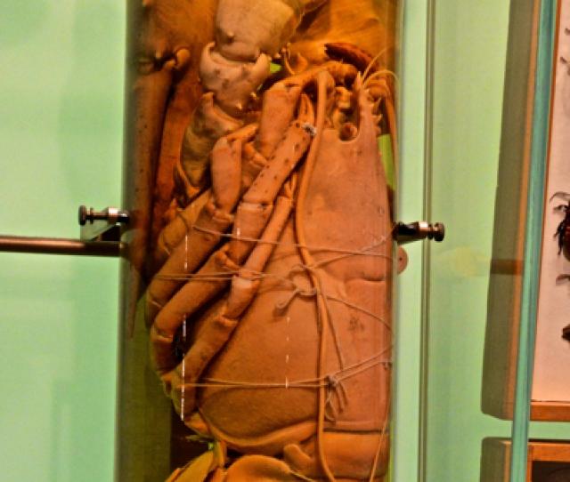 Lobstertube