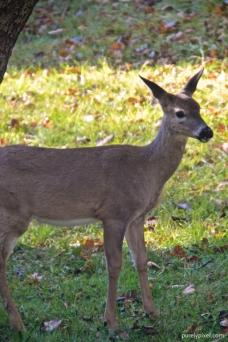 deer (4)